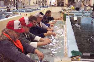 Hatchery workers clipping fish fins